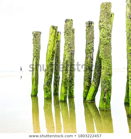 Wooden breakwaters covered with the green seaweed  Stock photo © marekusz