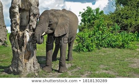 bokor · elefánt · áll · nagy · agyar · mező - stock fotó © markdescande