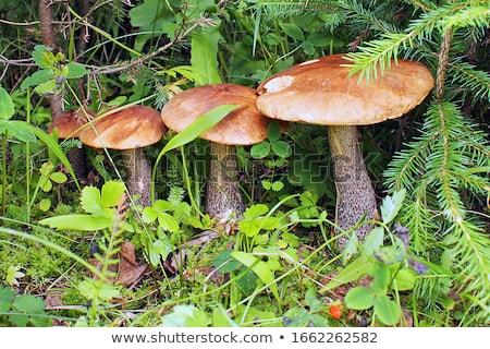 свежие · белый · Cap · грибы · все · сырой - Сток-фото © Digifoodstock