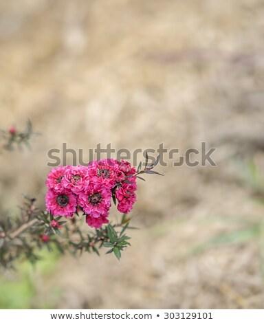 Leptospermum Scoparium Burgundy Australian Native Flowers Stok fotoğraf © Sherjaca