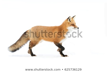 red fox on white background stock photo © bluering