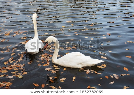 Swan in the park Stock photo © Givaga