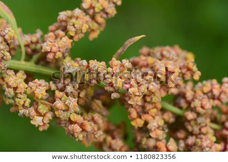 Yellow and orange flowers on a mature quinoa plant Stock photo © sarahdoow