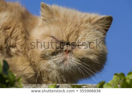 Zangado feio gato desenho animado ilustração olhando Foto stock © cthoman