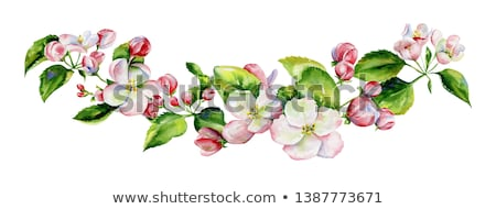 Apple tree blossom and leaves Stock photo © Zela