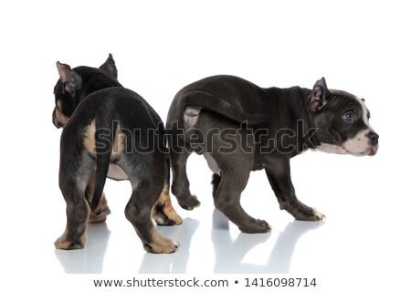 Yandan görünüş amerikan bakıyor geri yoğunlaşmak köpek Stok fotoğraf © feedough