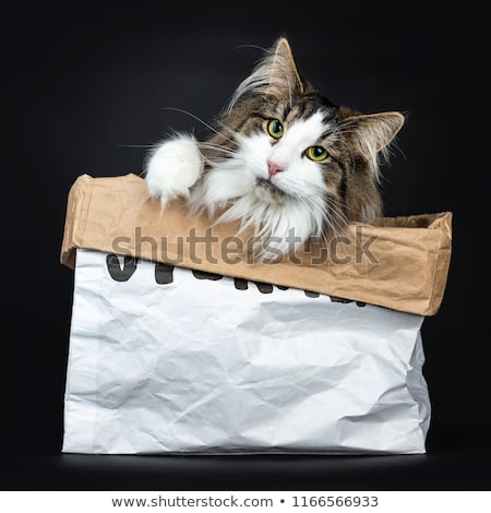 Black tabby with white Norwegian Forest cat sitting in paper storage bag Stock photo © CatchyImages