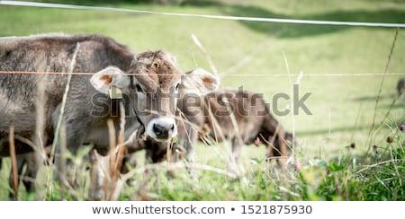 cows on green meadow stock photo © konradbak