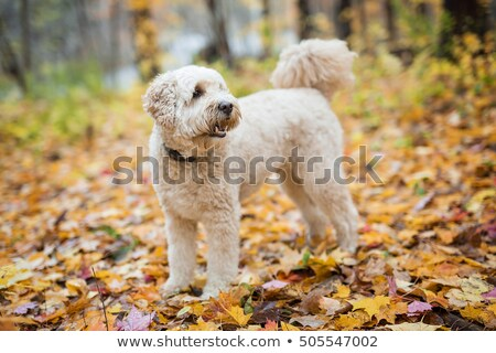 Happy Goldendoodle Dog Outside In Autumn Season Foto stock © Lopolo