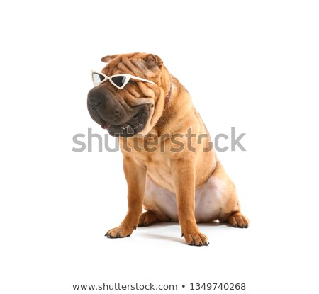 Adorable Shar Pei in sunglasses Stock photo © simply
