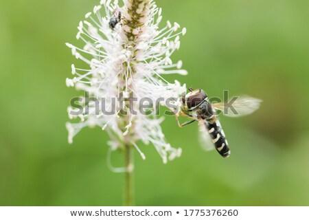 Hoverfly Scaeva pyrastri Stock photo © suerob