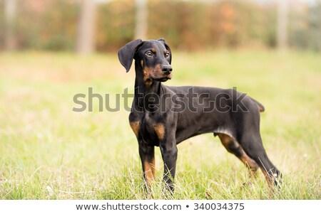 Jonge doberman portret puppy hemel Stockfoto © cynoclub