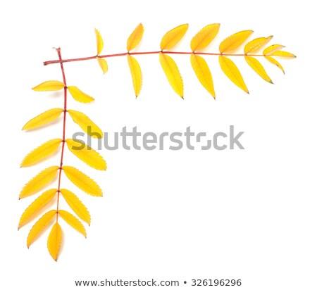 Twee as bladeren geïsoleerd witte najaar Stockfoto © smithore