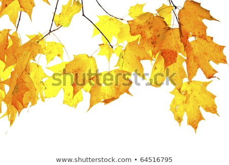 Maple Leaves Mixed Fall Colors Backlit Stock photo © davidgn