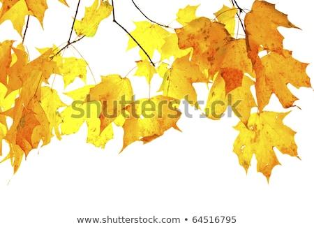 клен · листьев · смешанный · природы · саду - Сток-фото © davidgn