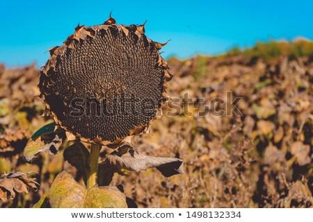 Ayçiçeği hazır hasat tohumları soyut ayçiçeği Stok fotoğraf © wjarek