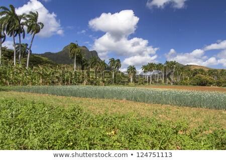 Farming under palmtrees on Cuba Stock photo © haraldmuc