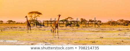 giraffe on savanna safari in amboseli kenya africa stock photo © photocreo
