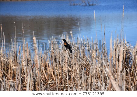 Red Winged Blackbird Perched on Marsh Grass Stock photo © rhamm