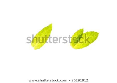 üç · fesleğen · yaprakları · canlı · yeşil · beyaz - stok fotoğraf © lunamarina