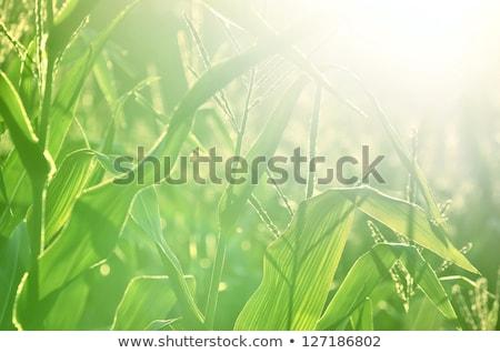 Corn flowers in grain field Stock photo © ivonnewierink