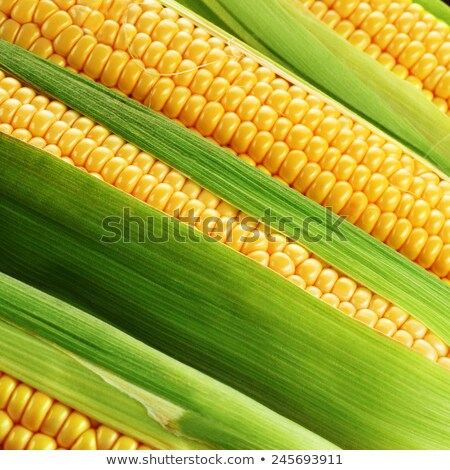 corn cobs between green leaves stock photo © stockyimages