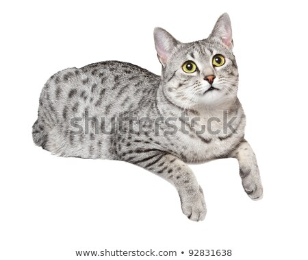 Healthy cat on a ledge Stock photo © davemontreuil