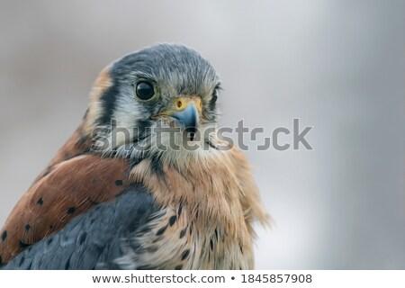 アメリカン · 屋外 · 鳥 · 自然 · エクアドル - ストックフォト © devon