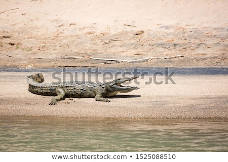 crocodile on a river bank stock photo © dutourdumonde