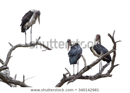 Stock photo: Three Marabou Storks