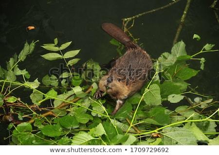 Little Beaver Stock photo © derocz