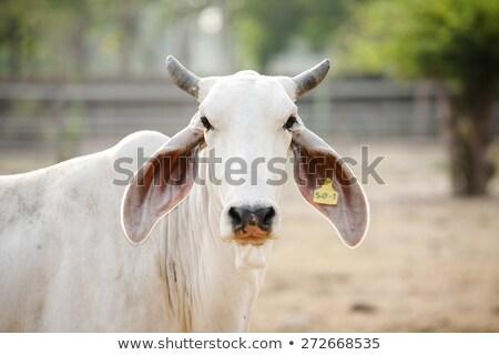 zebu head closeup Stock photo © taviphoto