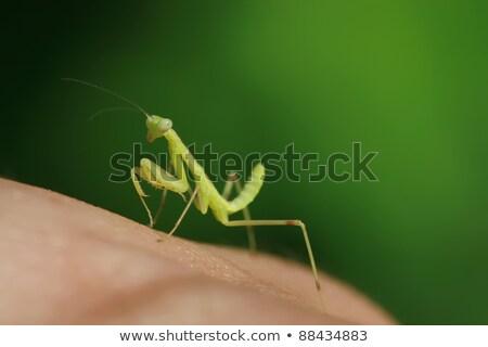 praying mantis larva Stock photo © smithore
