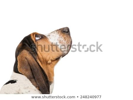 Vue de côté chien blanche animaux Photo stock © wavebreak_media