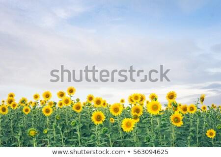 zonnebloem · groene · weide · blauwe · hemel · hemel · gras - stockfoto © master1305