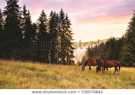 horse grazing at sunset stock photo © stokkete