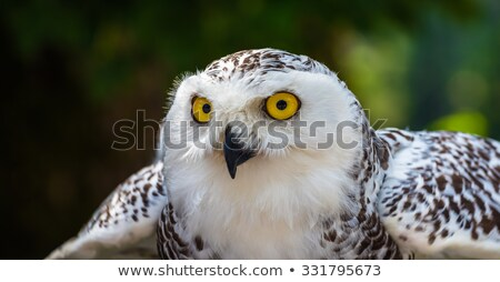 Detail of Snowy Owl Head with Dark Background Stock photo © Kayco