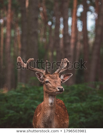 Stock photo: brown young doe on the green grass