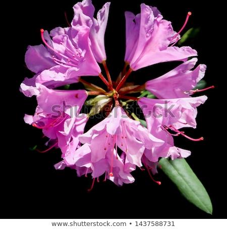pink rhododendron flower Stock photo © meinzahn