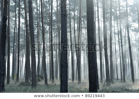 Stock photo: Mystic forest, sun rays entering trough the fog