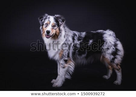Stock photo: Australian shepherd standard in white studio