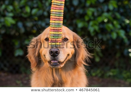 dog balancing treat on nose stock photo © iofoto