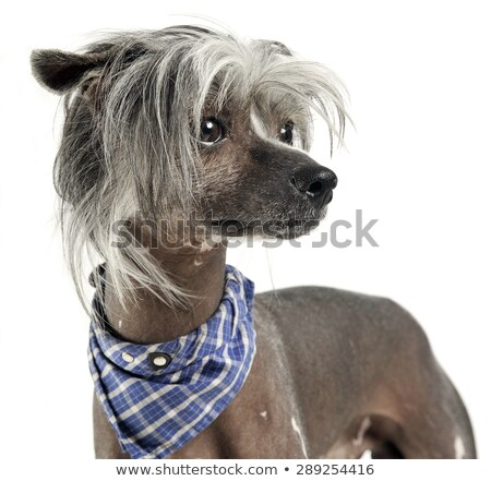 very cute chinese crested dog  portrit in white background Stock photo © vauvau