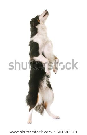 miniature american shepherd standing up Stock photo © cynoclub