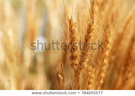 golden wheat ears in field stock photo © stevanovicigor