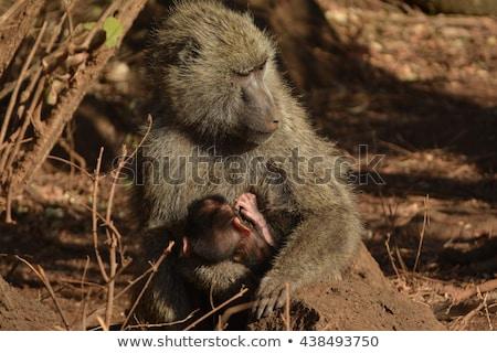 Pávián anya kicsi egy természetes élőhely Stock fotó © michaklootwijk