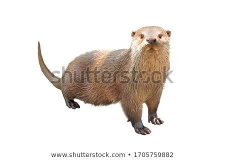 Cute otter on white background Stock photo © bluering