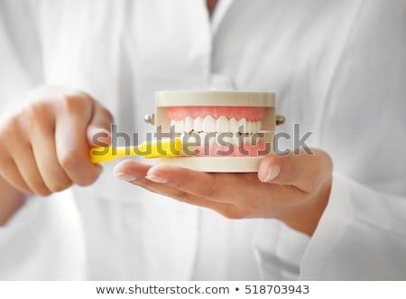 Tandarts tandheelkundige kaak model tandenborstel jonge Stockfoto © RAStudio