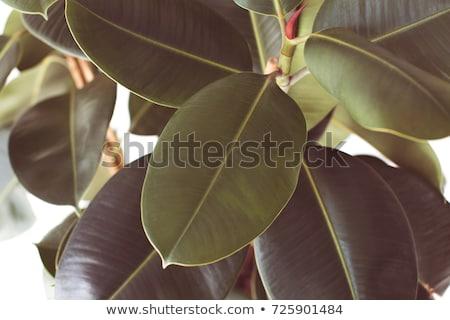 filtered ficus plant Stock photo © LightFieldStudios