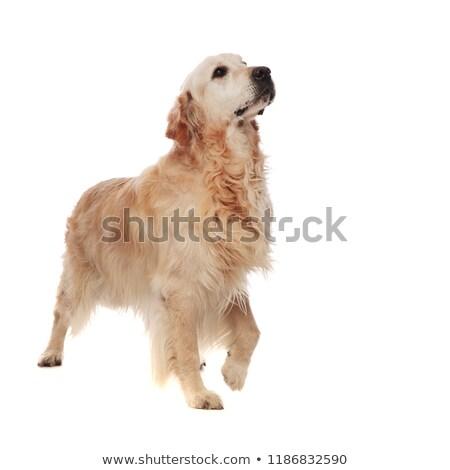 Büszke szőrös labrador felfelé néz oldal fehér Stock fotó © feedough